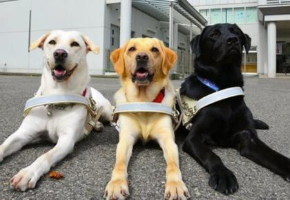 7 Curiosidades sobre os cães guia que você provavelmente não conhecia