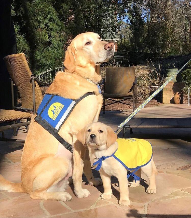 Cães De Serviço